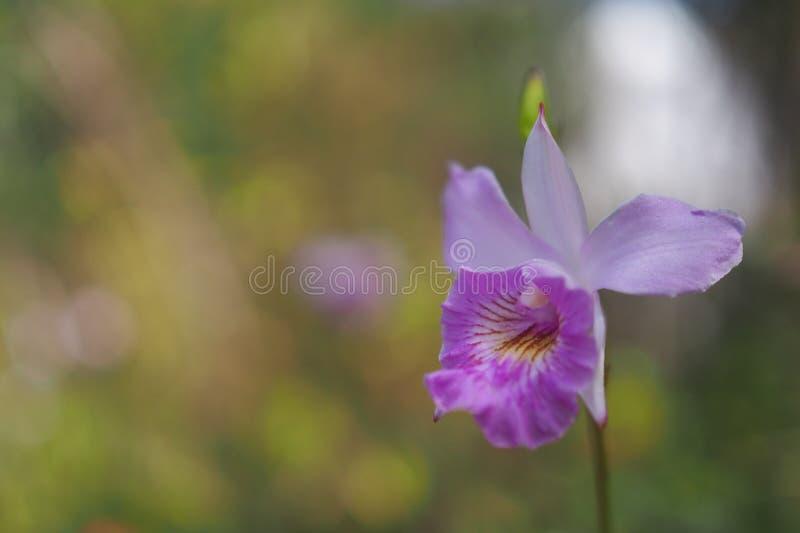 Rosa Orchidee in Thailand stockbilder