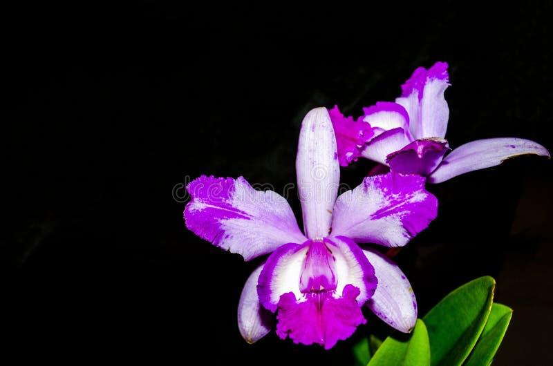 Rosa Orchideen lizenzfreies stockfoto