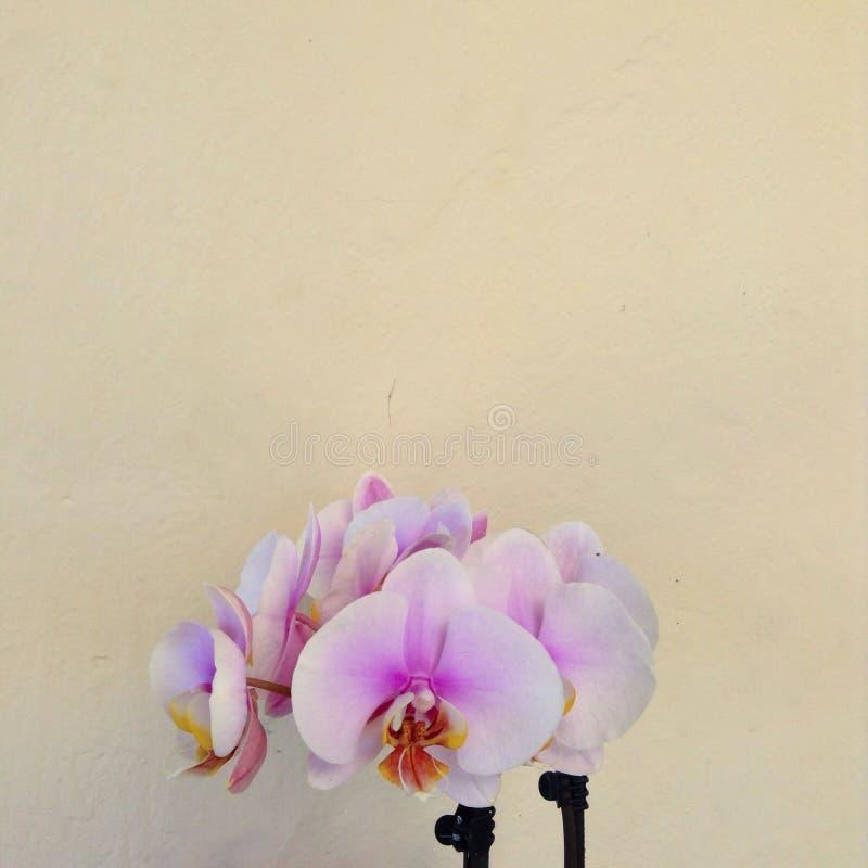 Rosa Orchideen stockbilder