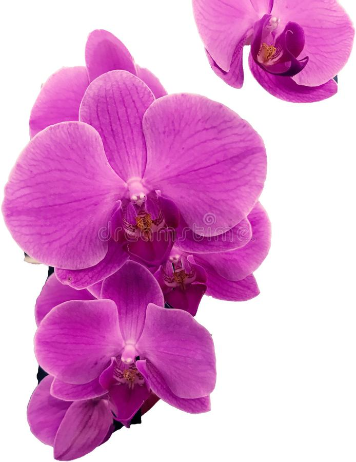 Rosa Orchideen dieses zusammen fliegen stockbilder