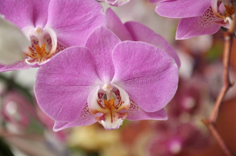 Rosa Orchideenblume, Orchideenniederlassung lizenzfreie stockfotografie