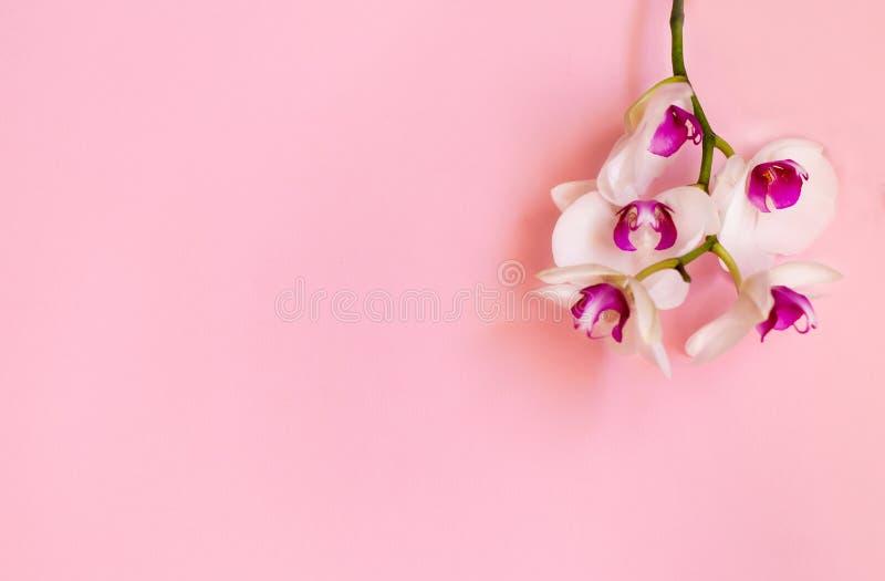 Rosa Orchideenblumen auf einem rosa Pastellhintergrund Wei?er Orchideehintergrund Raum f?r Text stockfotos