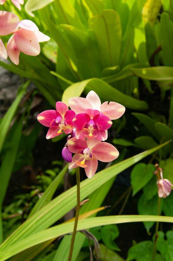 Rosa Orchideenblumen in der Mitte mit grünem Hintergrund stockfotografie