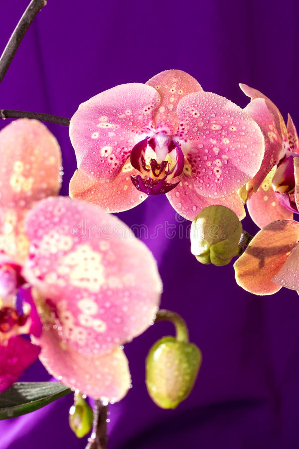 Rosa Orchideenmakro mit Wassertropfen Phalaenopsisniederlassung auf purpurrotem Hintergrund Abschluss oben Frühling lizenzfreie stockfotografie