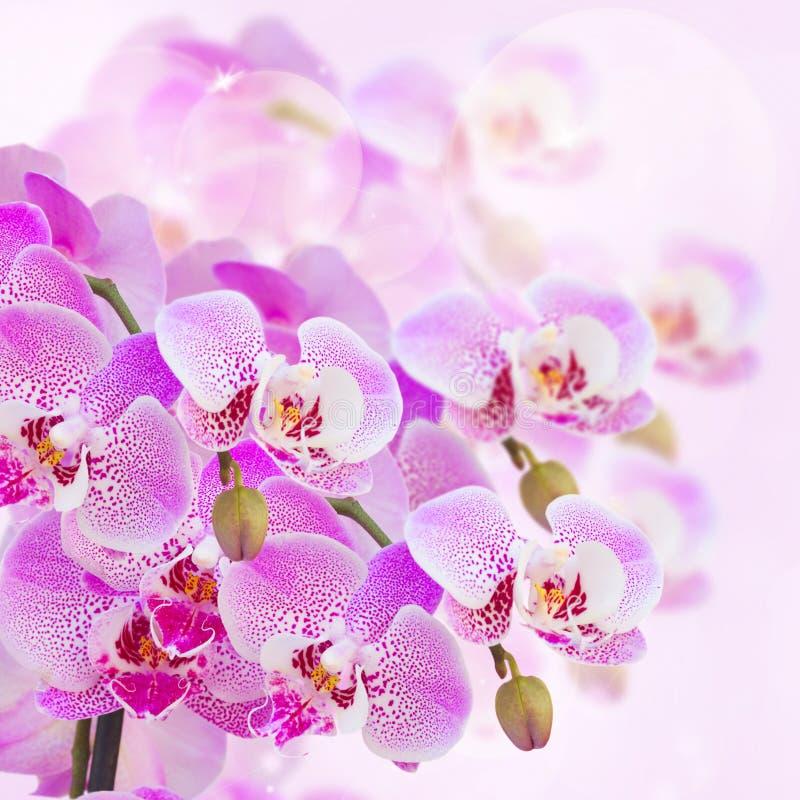 Rosa Orchideenniederlassungsabschluß oben lizenzfreie stockfotografie