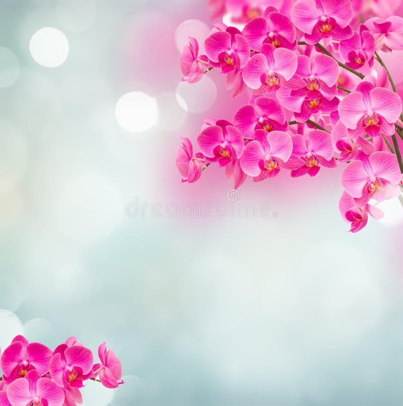 Rosa Orchideenzweige stockfotografie