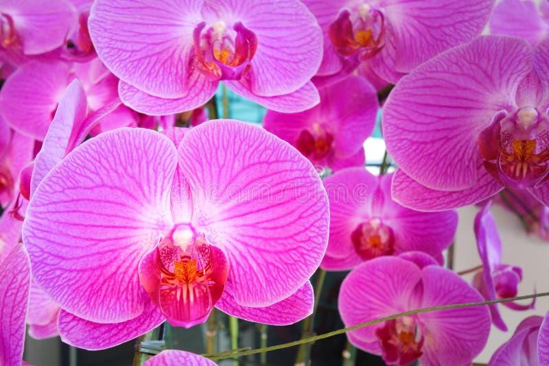 Rosa orchidphalaenopsis Bukett av blommaorkidér royaltyfri fotografi