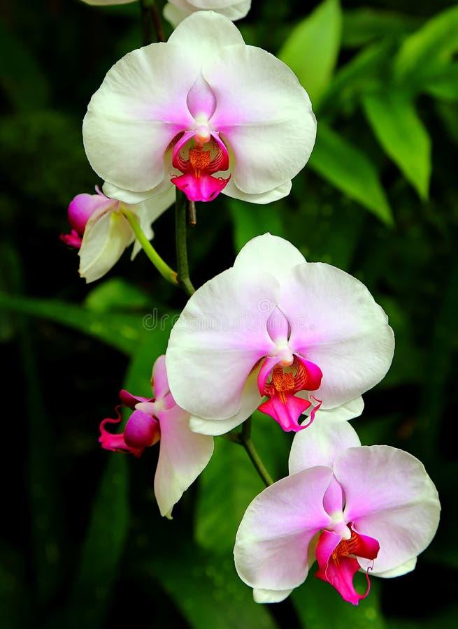 Rosa orchids royaltyfri bild
