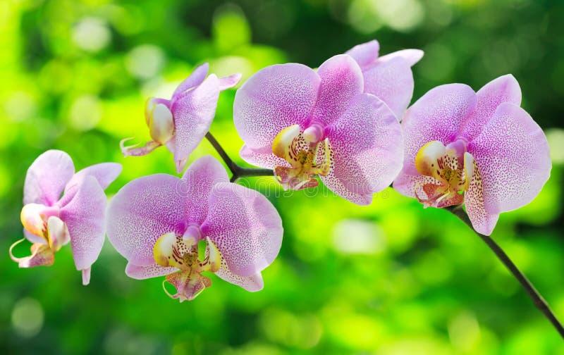 Rosa orkidé arkivbilder
