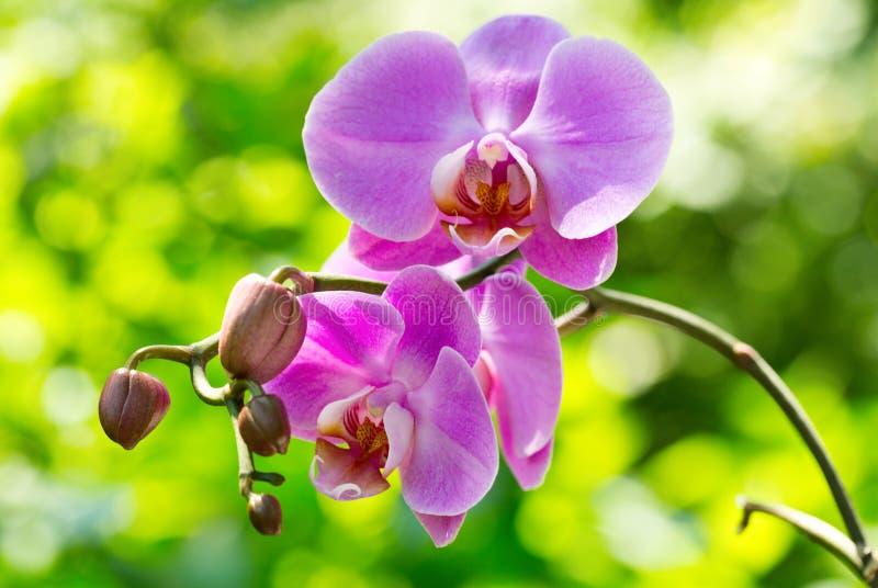 Rosa orkidé royaltyfria foton