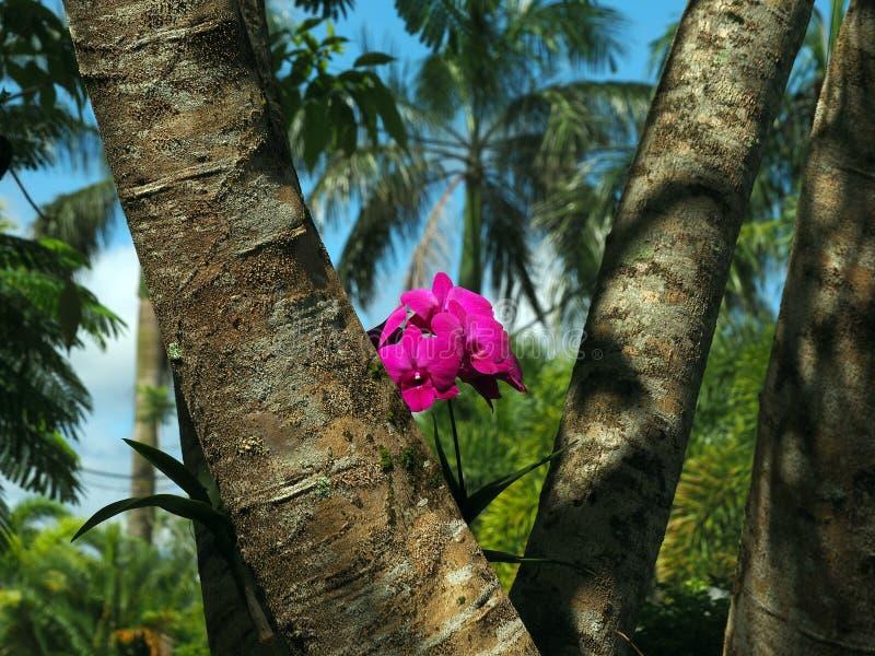 Rosa orkidé för vildblommafuchsia i ett träd i tropiska Surinam Sydamerika med Palmtree bakgrund royaltyfria bilder