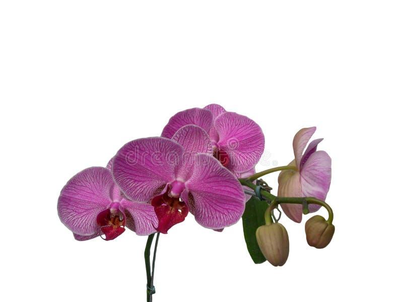 Rosa orkidé - härlig rosa färgblomma arkivbild
