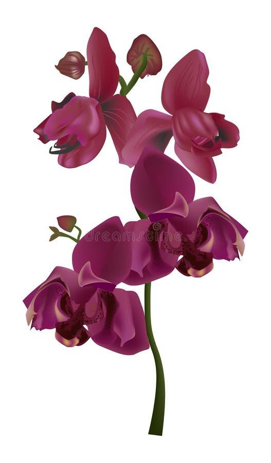 Rosa orkidé med fyra blommor på vit stock illustrationer