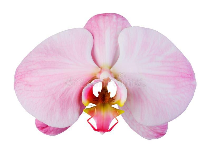 Rosa orkidé med strimmor royaltyfri bild