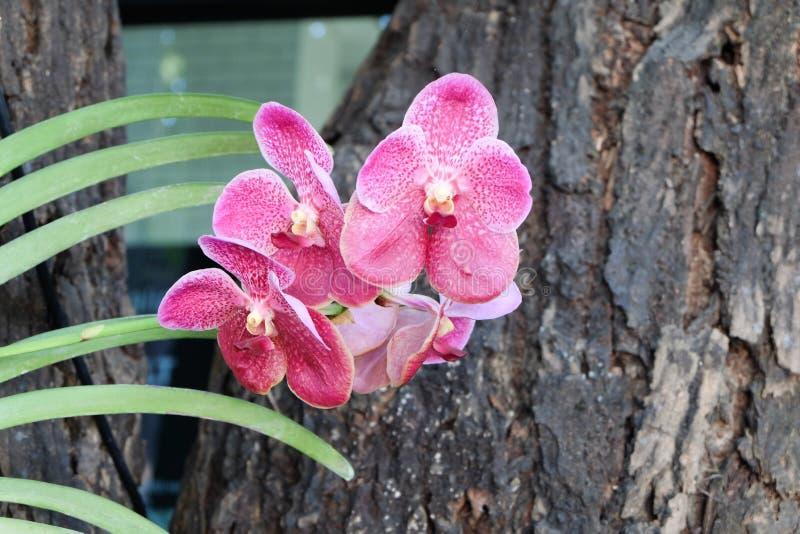 Rosa orkidé med trä arkivbilder
