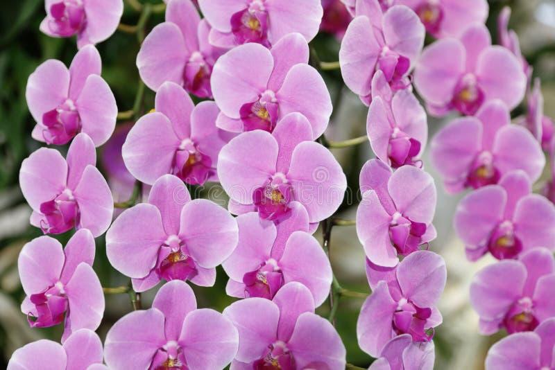 Rosa orkidéblomma royaltyfria foton