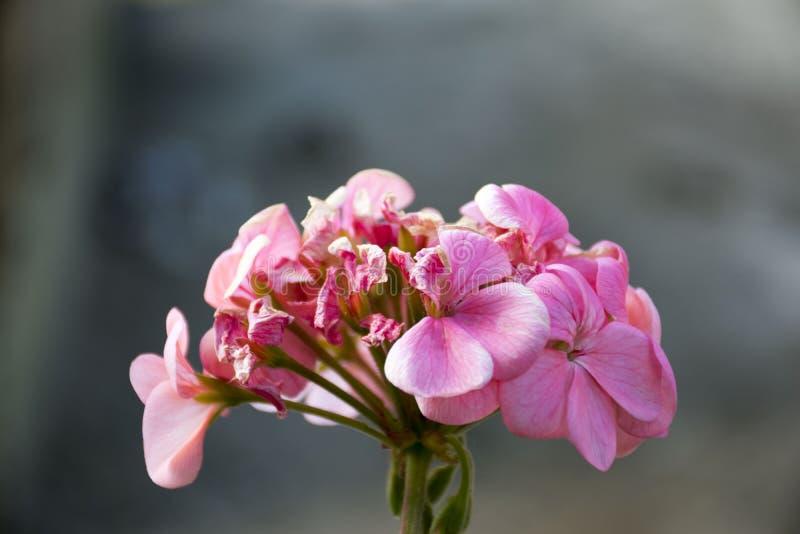 Rosa orkidéblomma i östliga Himalaya fotografering för bildbyråer