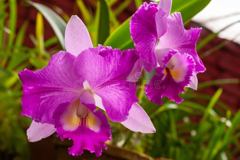 Rosa orkidéblommaslut upp i trädgården fotografering för bildbyråer
