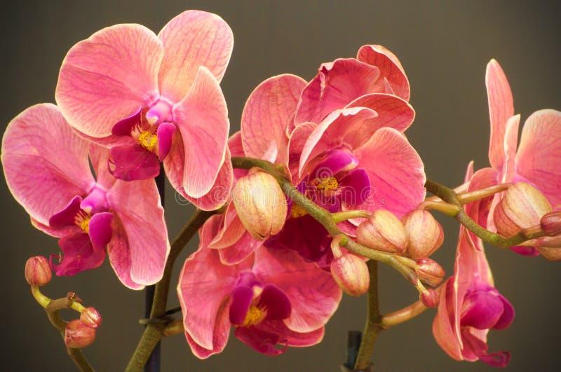 Rosa orkidéblommor på grå backround royaltyfri bild