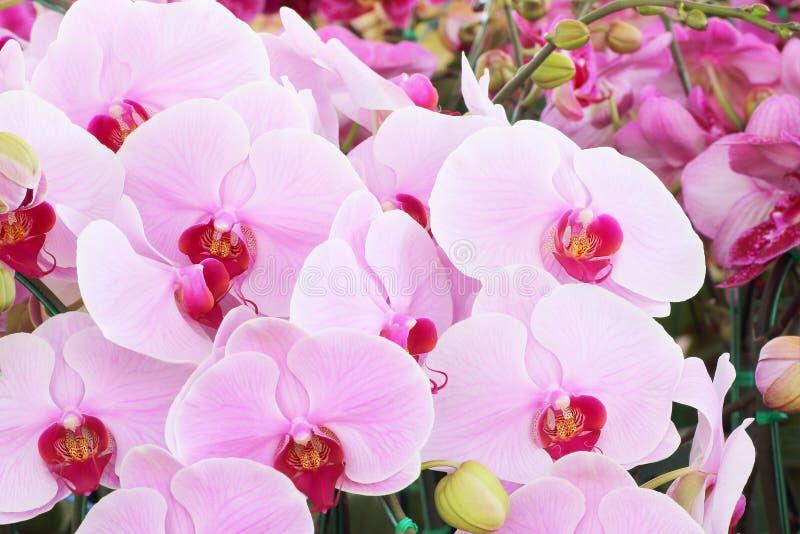 Rosa orkidébukett av blommaorkidér royaltyfria bilder