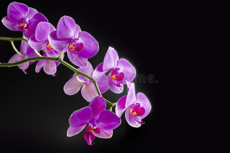 Rosa orkid?phalaenopsis p? svart bakgrund Filial av orkid?n bukett arkivfoto