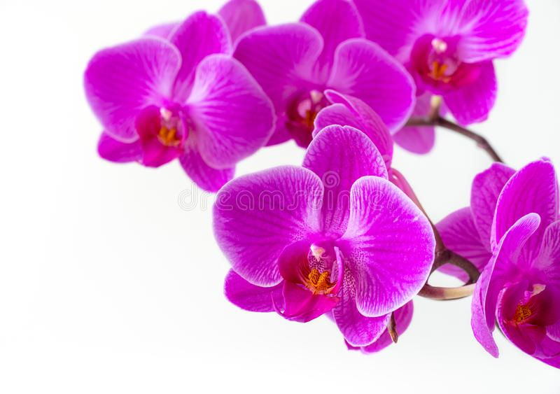 Rosa orkidér på en vit bakgrund royaltyfria bilder