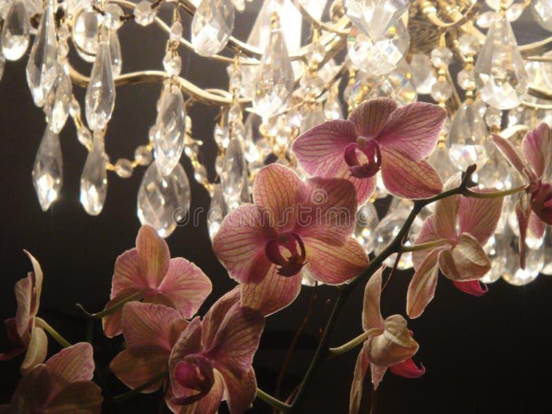 Rosa orkidér som är bakbelysta vid ljuskronan arkivfoto