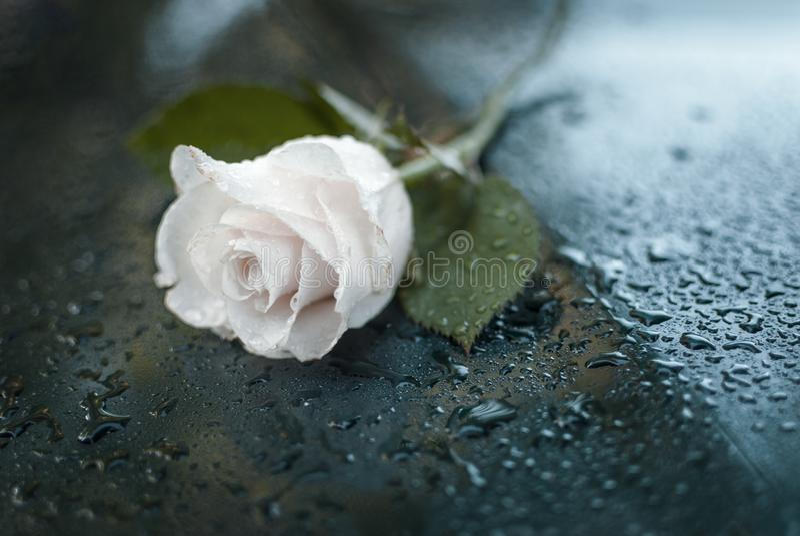 Rosa orvalhado branca simbólica bonita foto de stock