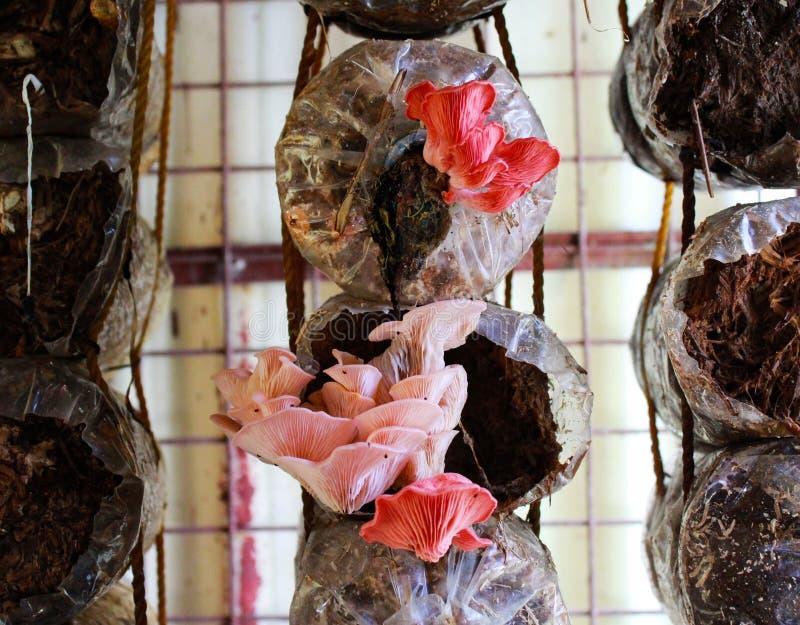Rosa ostronchampinjon royaltyfria bilder