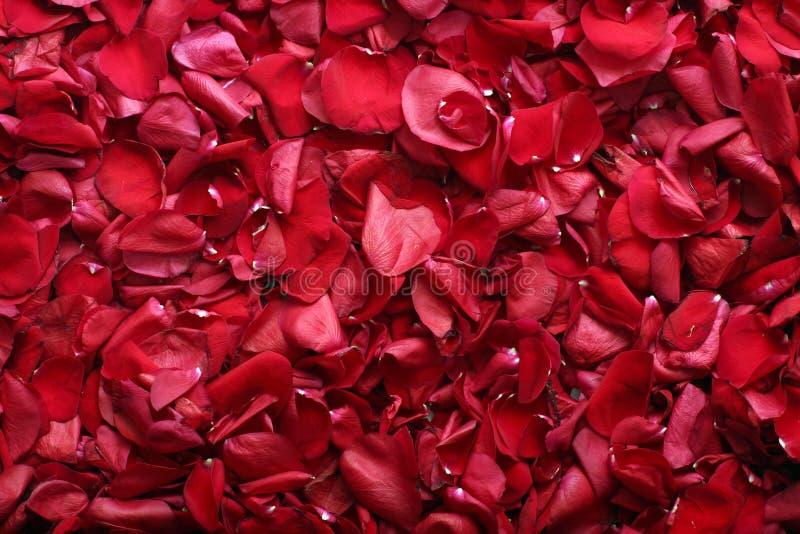 Rosa-pétalas