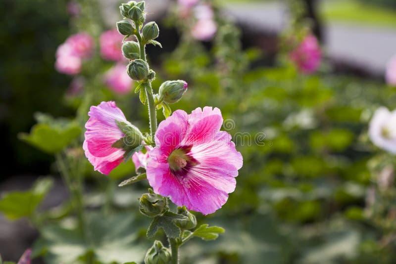 Download Rosa Papaveraceae stockbild. Bild von bearbeitung, fokus - 90226375