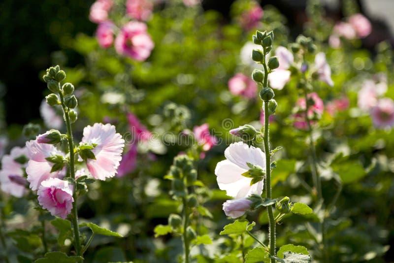 Download Rosa Papaveraceae stockbild. Bild von floral, tropfen - 90226613