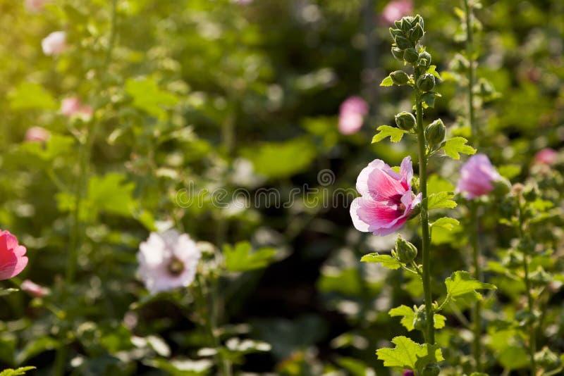 Download Rosa Papaveraceae stockfoto. Bild von dekorativ, flora - 90227972