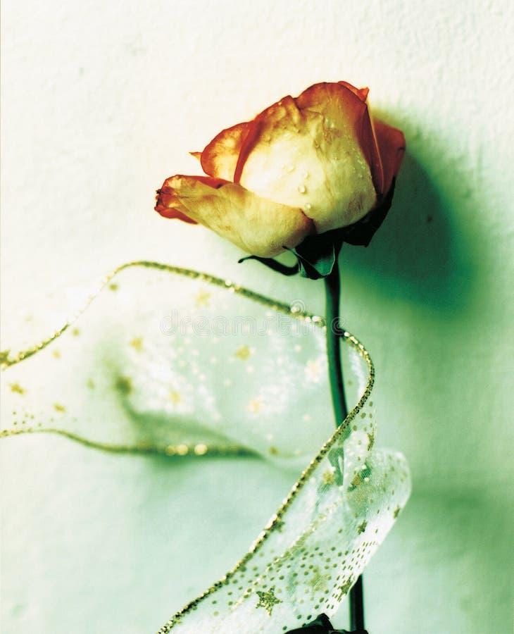 Rosa para o romance foto de stock