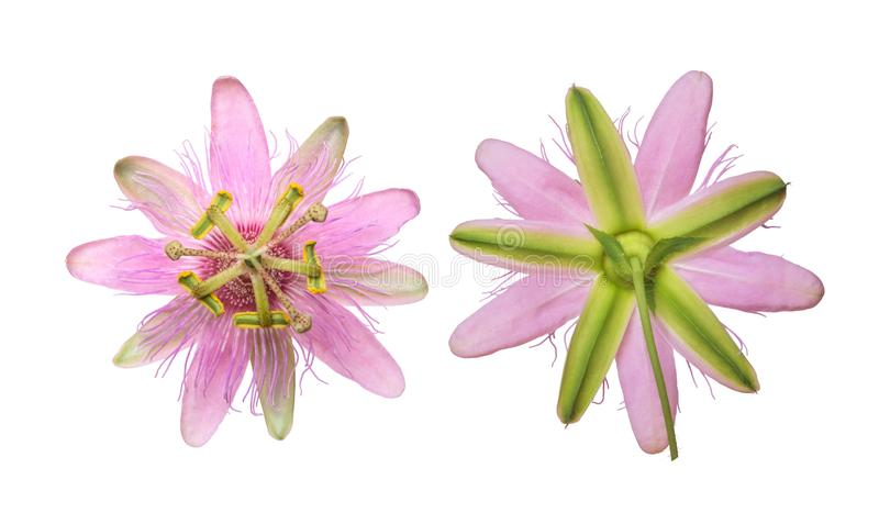 Rosa Passiflorapassionsblomma Nephrodes som isoleras på vit bakgrund fotografering för bildbyråer