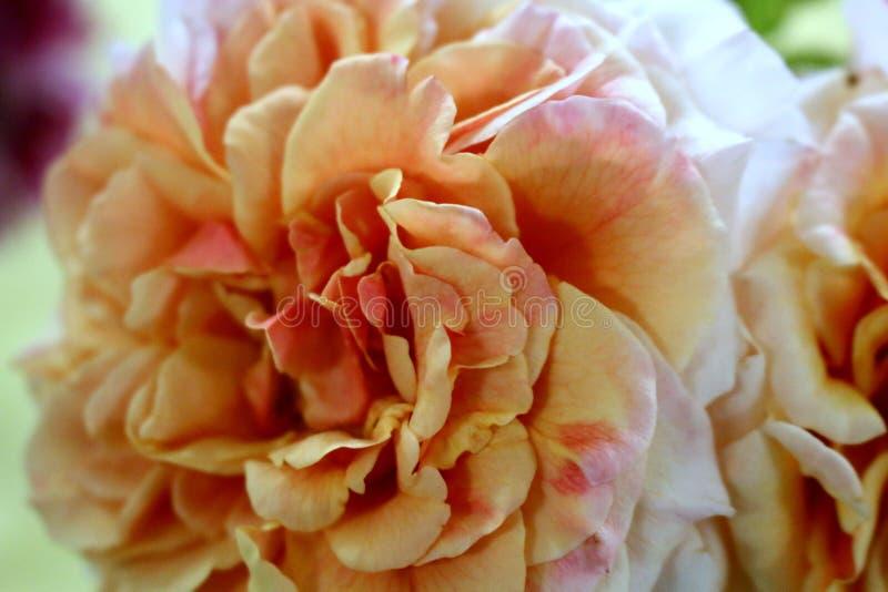 Rosa peachy-amarela de florescência fotos de stock