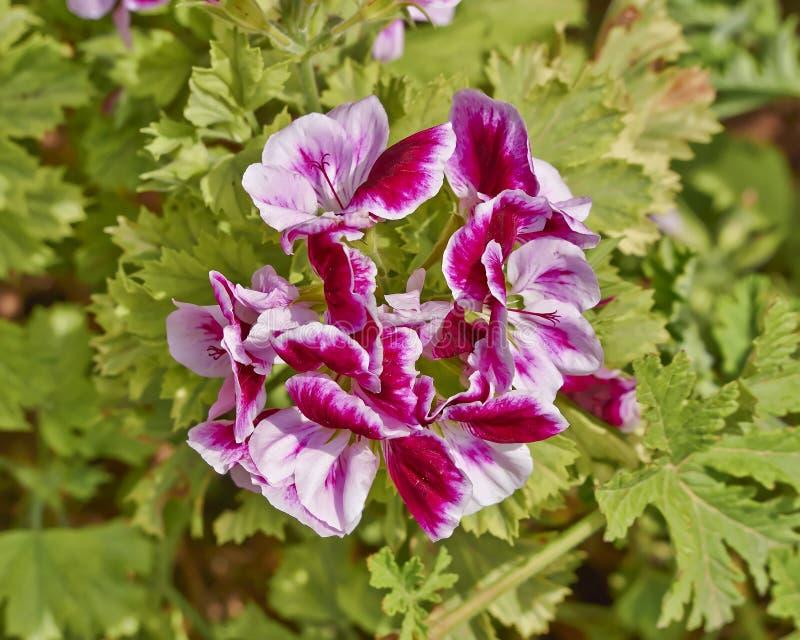 Rosa Pelargonie blüht Nahaufnahme im Garten stockbild