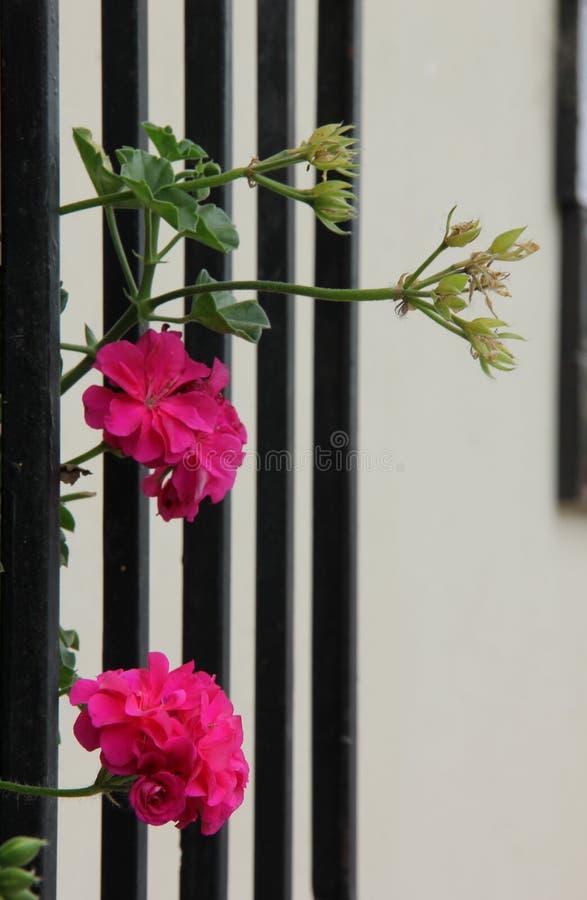 Rosa Pelargonie, die in Antigua blüht stockfotos