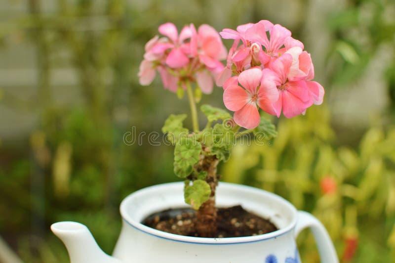 Rosa Pelargonien-Blume in keramische Teekannen-im Garten arbeitender Makronahaufnahme stockfotografie