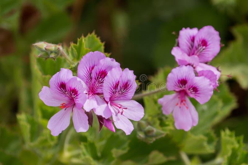 Rosa Pelargonienblume stockfotografie