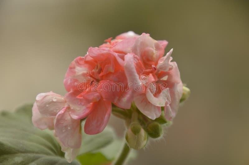 Rosa Pelargonienblume naß vom Regen stockfotografie
