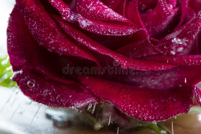 Rosa pequena do vermelho congelada em um bloco de gelo fotografia de stock royalty free