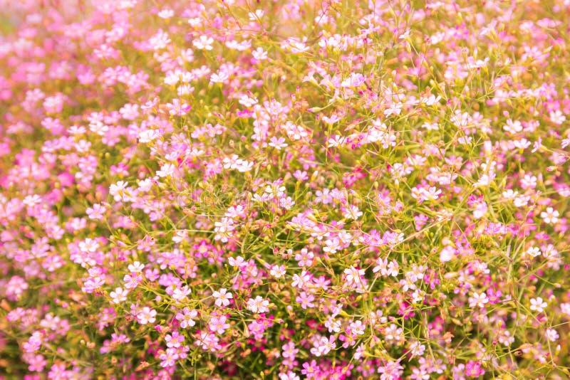 Rosa pequeno do gypsophila fotografia de stock royalty free