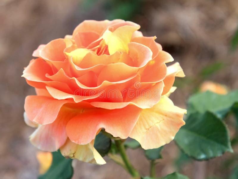 Rosa perfecta del amarillo del foco suave contra el fondo borroso - primer fotos de archivo libres de regalías