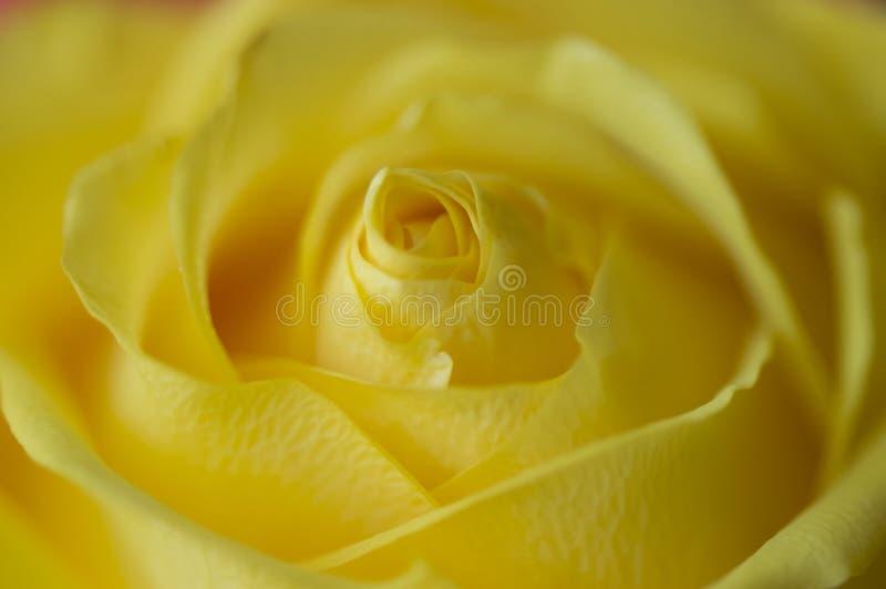 Rosa perfeita do amarelo foto de stock