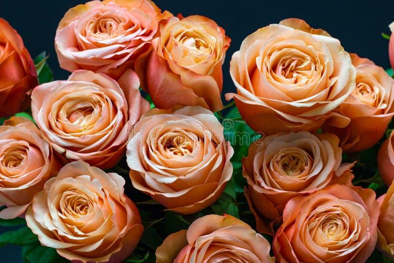 Rosa persikarosor stänger sig upp på en blom- bakgrund för mörk bakgrund royaltyfri fotografi