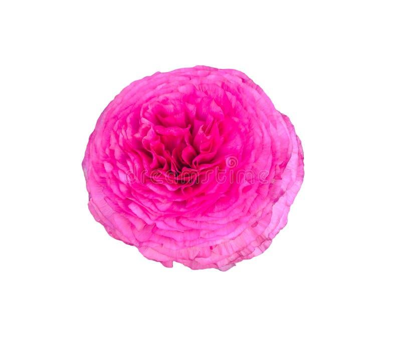 Rosa persisk asiaticus för smörblommablommaRanunculus på vit royaltyfri foto