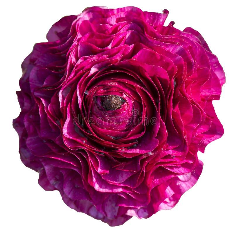 Rosa persisk smörblomma royaltyfri bild