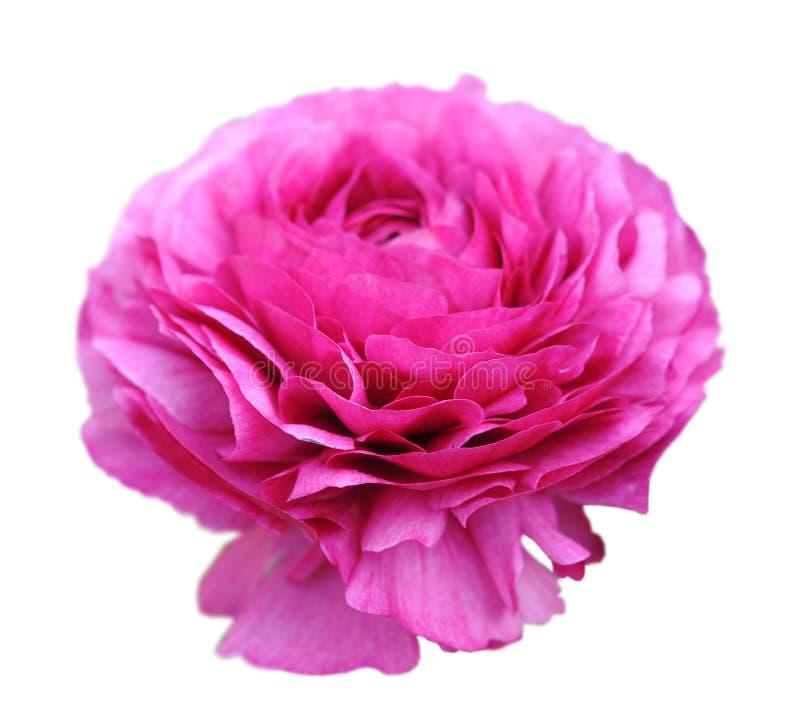 Rosa persisk smörblommablomma på vit arkivfoton