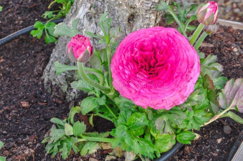 Rosa persisk smörblommablomma (Ranunculusasiaticus) med knoppar royaltyfria bilder
